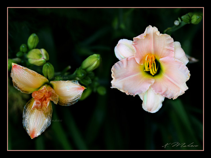 hemerocallis x romantic rose_001