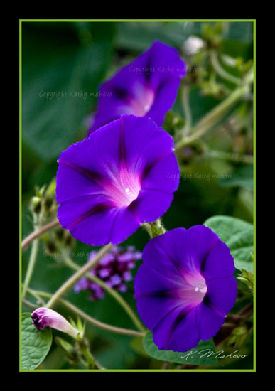 ipomoea grandiflora_002