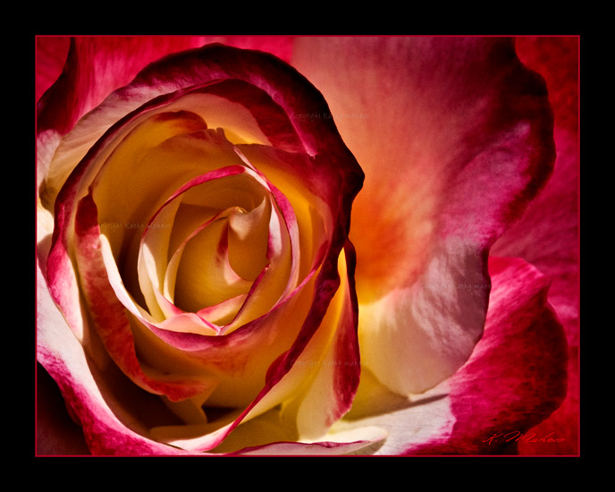 rose double delight_001