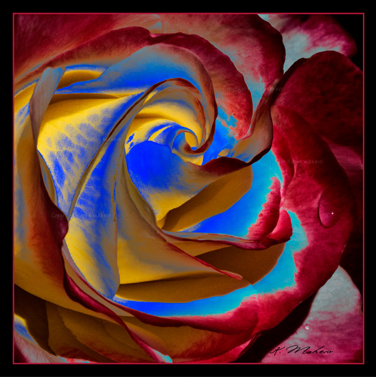 rose double delight_002