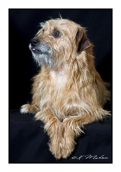 scottish terrier_001