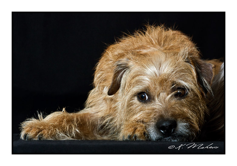 scottish terrier_004