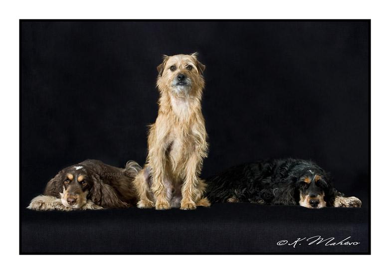 scottish terrier_006