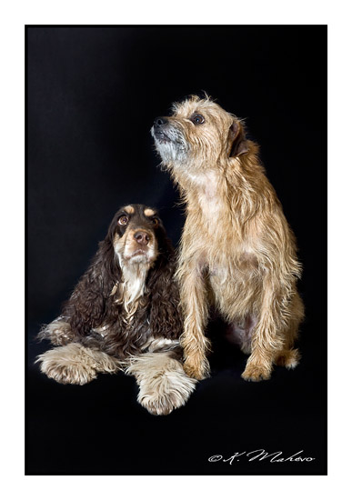 scottish terrier_007