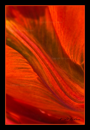 tulipe perroquet blumex_006